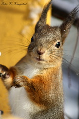 Squirrel boy (K. Haagestad) Tags: cute animals squirrels ekorn