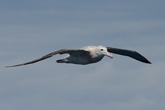 Wandering Albatross 1 (Diomedea exulans) (Keefy2014) Tags: wandering albatross diomedea exulans