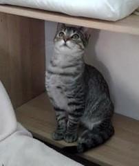 Krilin 21 (Asociacin Defensa Felina de Sevilla) Tags: espaa sevilla gatos felinos animales gatitos adoptar protectora adopciones apadrinar gatosurbanos defensafelina asociacindeanimales coloniasdegatos proteccindegatos activismoporlosanimales