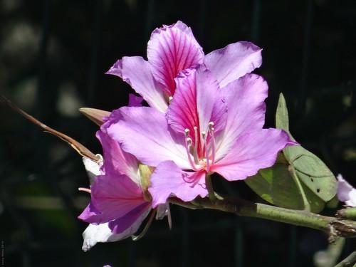 Flor - Morelia México 150207 115123 01105 HX50V