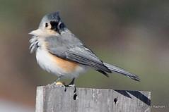 DSC_0383 (RachidH) Tags: nature birds nj sparta titmouse oiseaux tuftedtitmouse mésange baeolophusbicolor mésangebicolore rachidh