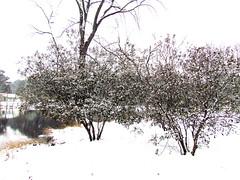 Bushes Maynard Lake Snow Cary NC 5609