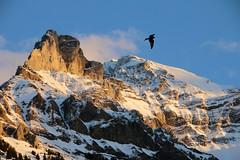Vor dem Gipfel (old_olsen) Tags: schnee sky snow kite milan bird berg schweiz switzerland himmel thealps alpen vogel adelboden