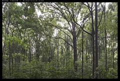 _8B10758 copy (mingthein) Tags: nature wet rain landscape nikon rainforest d availablelight jungle malaysia ming pce 2435 onn d810 thein photohorologer pce2435d mingtheincom mingtheingallery