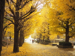 my campus (torisandaisuki) Tags: fall japan ginkgo olympus 銀杏 yokohama 2014 200mm em10 keiouniversity 慶應義塾大学