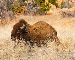 Injured bison (Lindell Dillon) Tags: oklahoma buffalo raw wildlife wichitamountains tamron americanbison lindelldillon