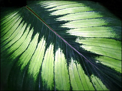 Nature's Works of Art (jo92photos) Tags: plant green nature leaf rainforest pattern tropical veins ornamental naturesart livingrainforest