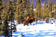 Mr. Moose . . . (JLS Photography - Alaska) Tags: alaska moose bullmoose bull winter wildlife winterlandscape jlsphotographyalaska landscape lastfrontier landscapes forest animals animal snow outdoor