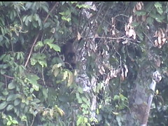 Capuchin Hanging