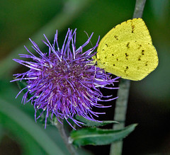 Common Grass Yellow On Thistle Flower (aeschylus18917) Tags: danielruyle aeschylus18917 danruyle druyle ダニエルルール ダニエル ルール japan 日本 nature tokyo 東京 nerima 練馬区 nerimaku 練馬 石神井公園 shakujiikōen butterfly lemonimmigrant insect yellow lepidoptera euremahecabe キタキチョウ commongrassyellow 200400mm asteraceae carduoideae thistle cynareae アザミ cirsium