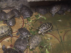 Turtles at Ngoc Hoang Pagoda