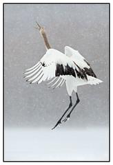 'The dance of the crane …..', genieten van de kraanvogels in Hokkaido …. (Martha de Jong-Lantink) Tags: snow japan hokkaido crane sneeuw cranes kraanvogel 2015 kraanvogels squiver