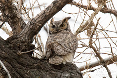 Male owl keeps close watch