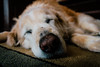 IMG_9012.jpg (VoelkSwaggin) Tags: dog dogs goldenretriever canon golden sleepy canonefs1855 vsco canoneos7d canonefs1855mmf3556is canon7d