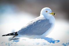 Ring-billed Gull (Larus delawarensis) (acryptozoo) Tags: birds gulls aves larus ringbilledgull larusdelawarensis laridae charadriiformes greatmiamiriver