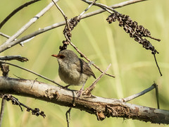 Baby (gecko47) Tags: bird young brisbane wren immature fairywren feathering superbbluewren oxleycreekcommon canonsx60hs