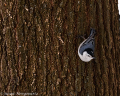 Great White Breasted Nuthatch (Susan Newgewirtz) Tags: canada nature birds march nikon montreal wildlife d750 pajaro nikkor nuthatch vogel oiseaux whitebreasted