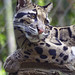 Nashville Zoo 08-27-2014 - Clouded Leopard 2