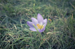 66/365 (Graeme_Smith) Tags: flower macro beautiful spring rich dream crocus petal fairy gr