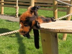 P4010067 (Vicky Hardingham) Tags: zoo meerkat leopard lemurs otters snowleopard owls banham