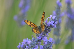 Orange butterfly (dfromonteil) Tags: papillon butterfly orange lavande lavender purple violet green vert bokeh fleur flower light