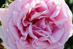 (biancamanson97) Tags: flower pink detail nature natural beautiful inspiration observation observe