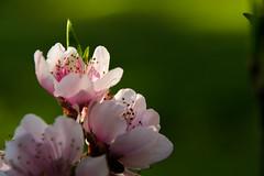 REV_DSC1770 (fernando.bp) Tags: flor durazno
