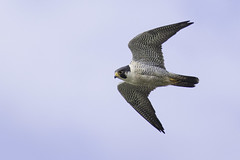Peregrine Falcon (www.studebakerstudio.com) Tags: bird nature alaska raptor falcon studebaker nome peregrine peregrinefalcon
