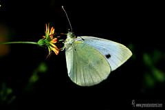 Pieris-brassicae (Lucas Gutirrez) Tags: insectos mariposa macrofotografa pierisbrassicae lepidptero alhamadegranada granadanatural lucasgutierrezjimenez