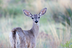 BJ8A7612-White-tailed Deer (tfells) Tags: mammal whitetailed deer nature wildlife chiricahua national monument arizona
