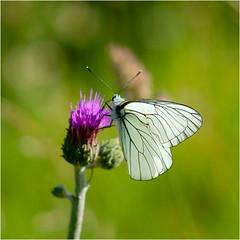 white and beautiful........... (atsjebosma) Tags: light summer white green purple ngc npc zomer wit drome vlinder lafrance 2016 aporiacrataegi rhonealps grootgeaderdwitje atsjebosma coth5