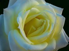 Rose - A Queen in itself! (Uhlenhorst) Tags: 2016 germany deutschland bavaria bayern plants pflanzen flowers blumen blossoms blten
