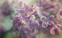 The smell of lilacs (Anne Worner) Tags: light blur macro texture closeup lensbaby droplets bend blossom cluster olympus lilac bloom layers orbs aromatic ononesoftware sweet35 anneworner