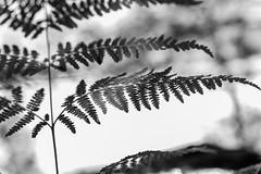 Helecho (cmarga28) Tags: helechos naturaleza macro cerca sincolor photography foto plantas vegetal vegetacion creativo perspectiva nikon digital raw d750