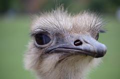 Avestruz 01 (Calamarin) Tags: ave bird nature naturaleza cabrceno pjaro animal aire libre avestruz