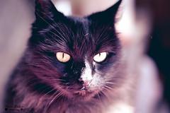 DasCat (Nestor Polastri) Tags: cat cats animals dark black bad angry furiosa red pet friendly me bokeh nikon nikkor