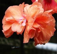 DSC02605 (radhkrishna) Tags: flowers flower waterdrops raindrops kerala nature