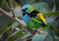 Tangara seledon (Aisse Gaertner) Tags: tangaraseledon birdwatching bird brazil birdwatcher blinkagain birds brasil birdwathing nikon ngc p900 coolpix