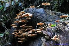 fungos (Luiz Filipe Varella) Tags: fungo cogumelo mushroom mata atlntica floresta ombrfila mista araucria araucarieto rio grande do sul umidade mida de altitude luiz filipe klein varella