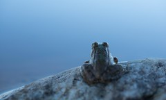 Waiting for the sunrise (daviddelossan) Tags: sunrise sunset animal frog blue hour lake wild nature small little rock waiting