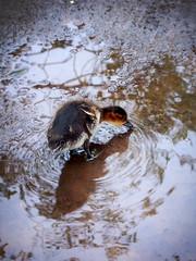 Baby Duck (kudumomo) Tags: iceland babyduck sbyrgi canyon