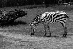 Black or white stripes? (Julien//K) Tags: zebra monochrome nikon d7100 nikkor 70300mm f4556 zoom zoo dallas texas usa mammal eating outdoors