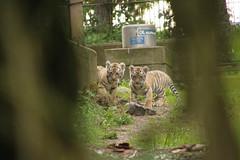Amur tiger cubs sneeking (Korkeasaaren elintarha) Tags: korkeasaari korkeasaarenelintarha elintarha helsinkizoo helsinki hgholmensdjurgrd hgholmen amurtiger amurintiikeri tiger tigercub tigercubs pantheratigrisaltaica zoo zooanimals