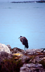 Hunkered Down (Emily Kistler) Tags: beach countypark florida nature ocean outdoors park sand sandkey water blueheron animal bird usa unitedstates nikon d750 rocks gulfofmexico