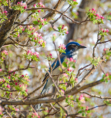Scrub Jay and Apple Blossoms (Linda Seibert) Tags: wildlife blue scrubjay appletree