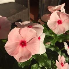 Vinca #vinca #flower #garden #pink #pinkflower #plants #gardenersnotebook (dewelch) Tags: ifttt instagram vinca flower garden pink pinkflower plants gardenersnotebook