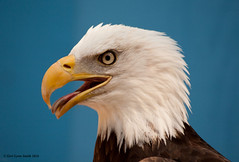 Eagle Portrait (gerilynns) Tags: blue white bird yellow boston outdoors beak feathers predator americanbaldeagle majesti