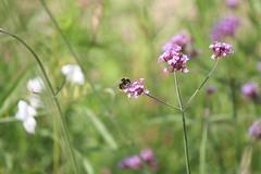 Abeille (honeybee) (Ludo2937000) Tags: tours la gloriette jardin fleurs insectes