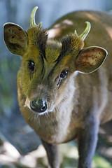 Cute muntjak looking at me (Tambako the Jaguar) Tags: muntjak small antelope portrait cute curious inquisitive jonskleinefarm kallnach zoo bern switzerland nikon d4