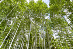 Forest of Colorado Aspen Trees (Cathy Neth) Tags: 1424mm 2016inphotos 365photoproject 365project flowermoundphotographer flowermoundphotography forest sanjuannationalforest beautifullandscapes bluesky cathyneth cathynethphotography circularpolarizer cnethphotography colorado coloradolandscapes d810 landscape landscapephotography landscapes leefilters lookingup nature naturesbeauty nikon nikond810 pagosasprings pagosaspringscolorado pagosaspringslandscapes project365 treephotography trees coloradophotography aspen aspentrees aspenphotography forestofaspen forestoftrees